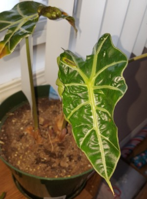 Identifying a Houseplant - large leafed plant with medium green leaves and light veins