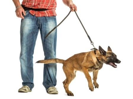 An aggressive dog pulling on its leash.