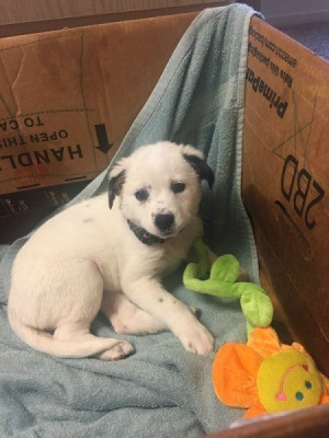 What Breed Is My Dog?  - white puppy in a cardboard box with flower toy