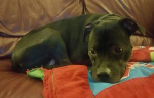 Rescue Dog Poops Inside When Left Alone - Izzy lying down