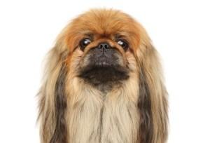 Pekingese dog.