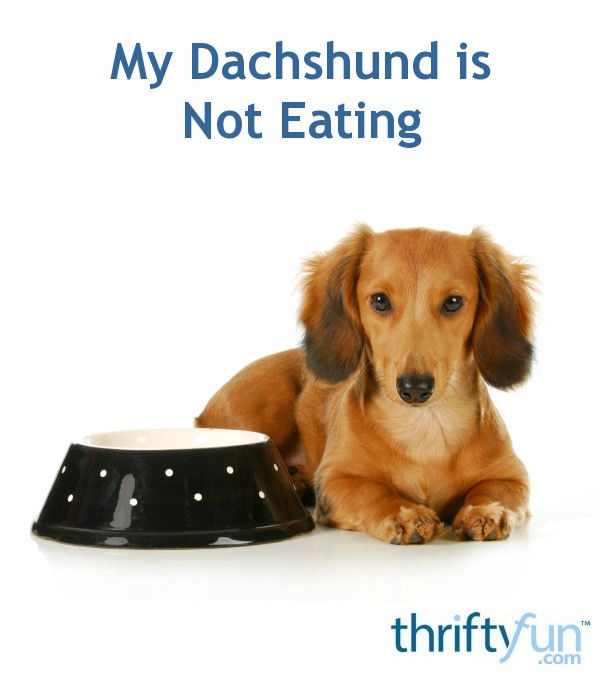 my dachshund is not eating thriftyfun. Black Bedroom Furniture Sets. Home Design Ideas