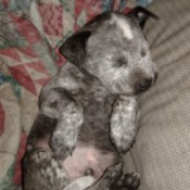 Is My Dog a Blue Heeler? - 6 weeks old