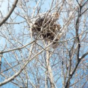 Life In The Winter Garden - snow capped squirrel's nest