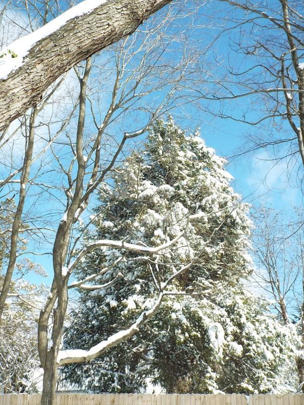 Life In The Winter Garden - snow laden cedar