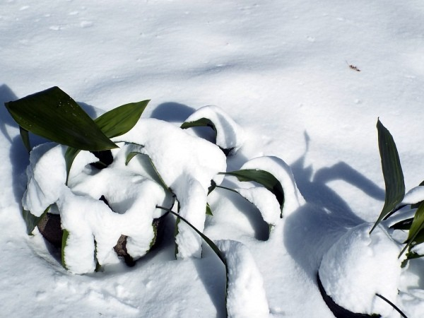 Life In The Winter Garden - Aspidistra elation, parlor palm