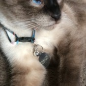 What Is My Siamese Mixed With? - seal point Siamese mix