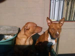 Are My Dogs Full Blooded Pit Bulls? - two reddish brown Pits