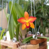 Stunning Orange Orchid - red, orange, and yellow orchid flower