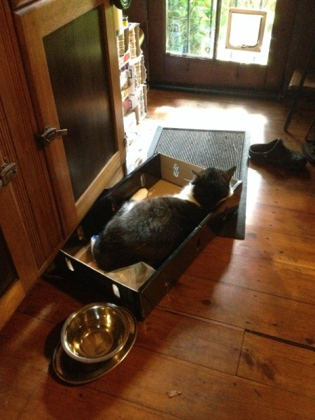Oscar (Domestic Shorthair Cat) - cat in a box on the floor
