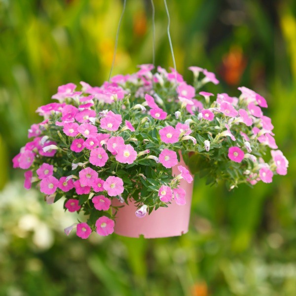 A Hanging Basket With Petunias In It