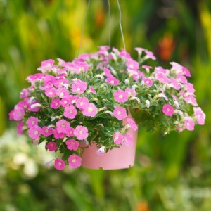 A hanging basket with petunias in it.