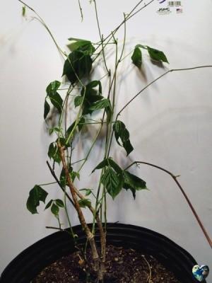A corkscrew vine in a black pot.