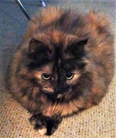 Jade (Long Haired Tortoiseshell Hemingway) - Jade as large primly lying down cat