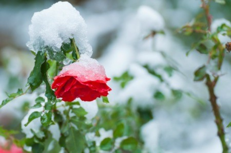 Red Rose covered in snow.