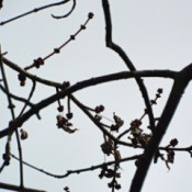 Curing Winter Blahs - Maple tree budding