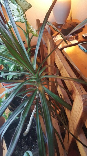Identifying a Houseplant - dracaena like plant
