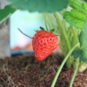 Growing Strawberries in a pot.