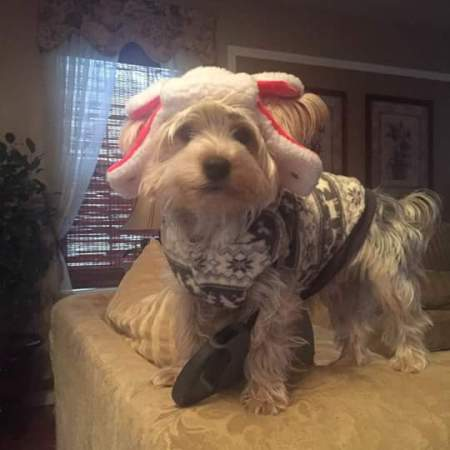 Chewbacca (Yorkie) - wearing a sheep ears hat and a gray and white sweater