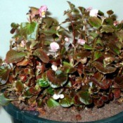 My Faithful Begonias - wax begonia