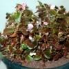 My Faithful Begonias - wax begonia