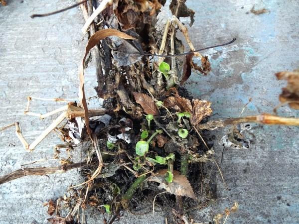 My Faithful Begonias - new growth