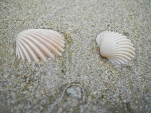 Two seashells in the sand.