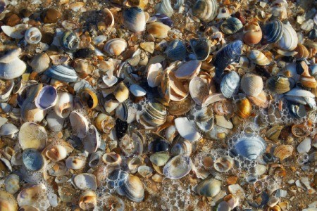 A shorefull of different sized seashells.