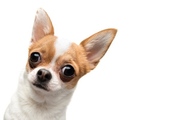 my chihuahua is not eating thriftyfun. Black Bedroom Furniture Sets. Home Design Ideas