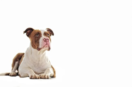 White and Brown Pit Bull Laying down with head up.