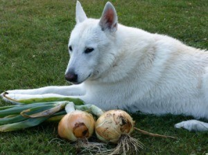 Big white dog sitting next to two freshly harvested large onions.