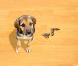 A non housebroken puppy on a wood floor next to an accident.
