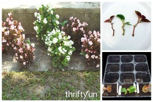 Growing Begonias from Cuttings