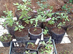 Using Rooting Hormones And Other Agents - butterfly bush cuttings a various stages of growth