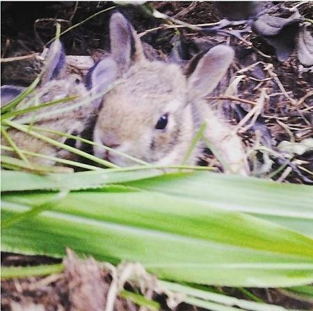 A litter of bunnies in a field.