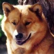 Bubba Bear (Chow-Siberian Husky)