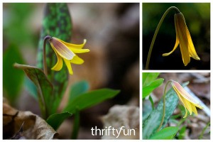 What is This Plant? Trout Lily (Erythronium americium)