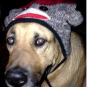 Bashful (German Shepherd Mix) - wearing monkey hat