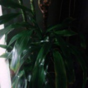 What Is This HousePlant? - dark photo of plant that looks like a Dracaena fragrans