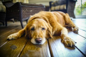 An older Golden Retriever laying on a wooden floor.