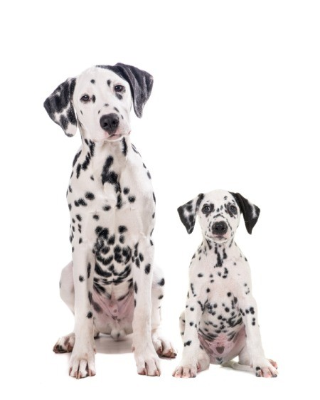 Research Before Getting a New Puppy - adult and puppy Dalmatians