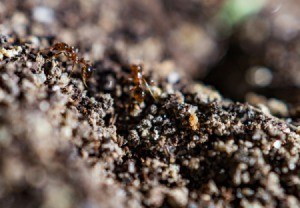 Ants storing food in dirt.