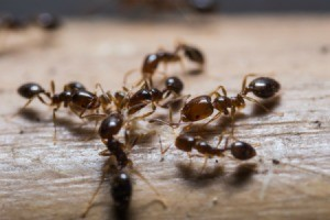 Some ants on a wood floor.