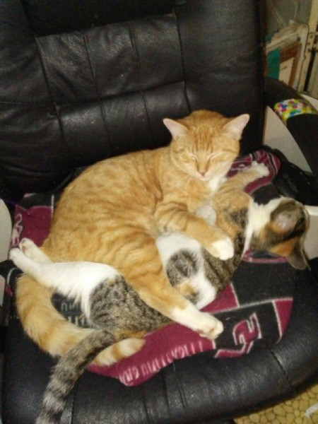 Emory Hugs Lilly (Siamese Mix and Calico) - cats entwined on chair