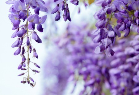 Beautiful flowering Wisteria
