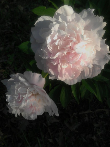 A very light pink peony in bloom.