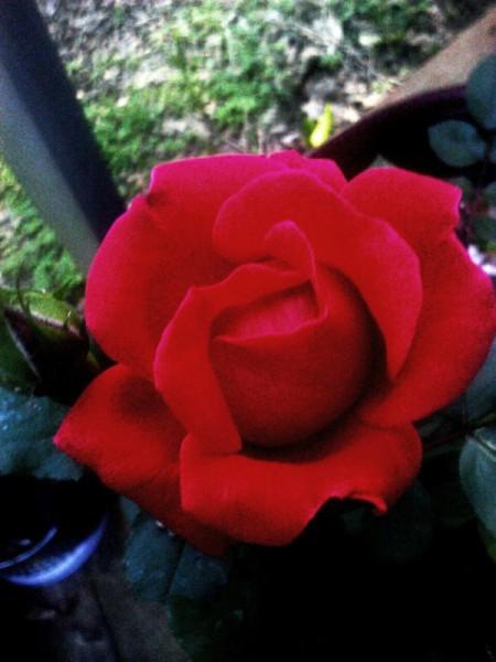 Beautiful Red Rose - red rose