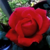 Beautiful Red Rose - red rose