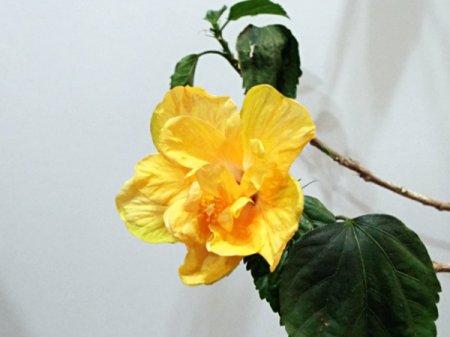 Hibiscus Rosa Sinensis - yellow flower blooming inside
