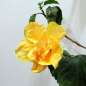 Hibiscus Rosa Sinensis - yellow flower blooming inside